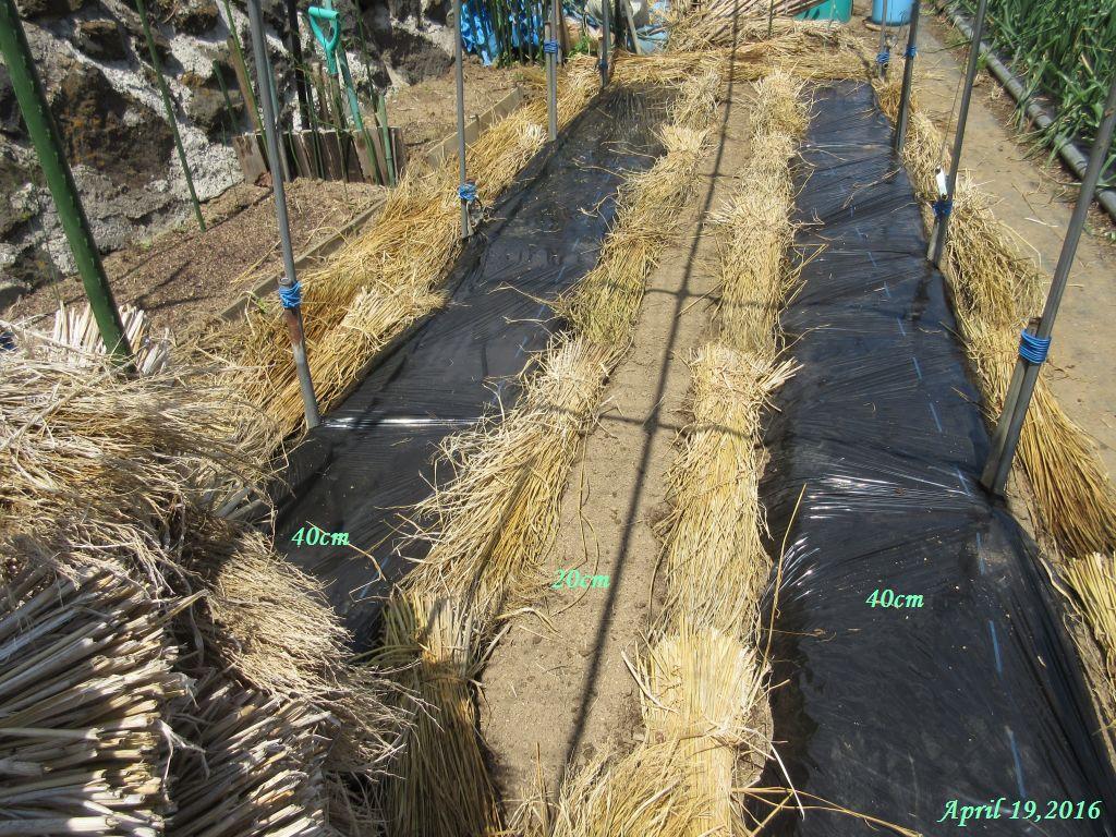 画像3(キュウリ棚の畝にマルチと敷き藁)