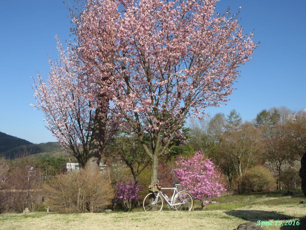 画像13(富士山レーダードームの桜)