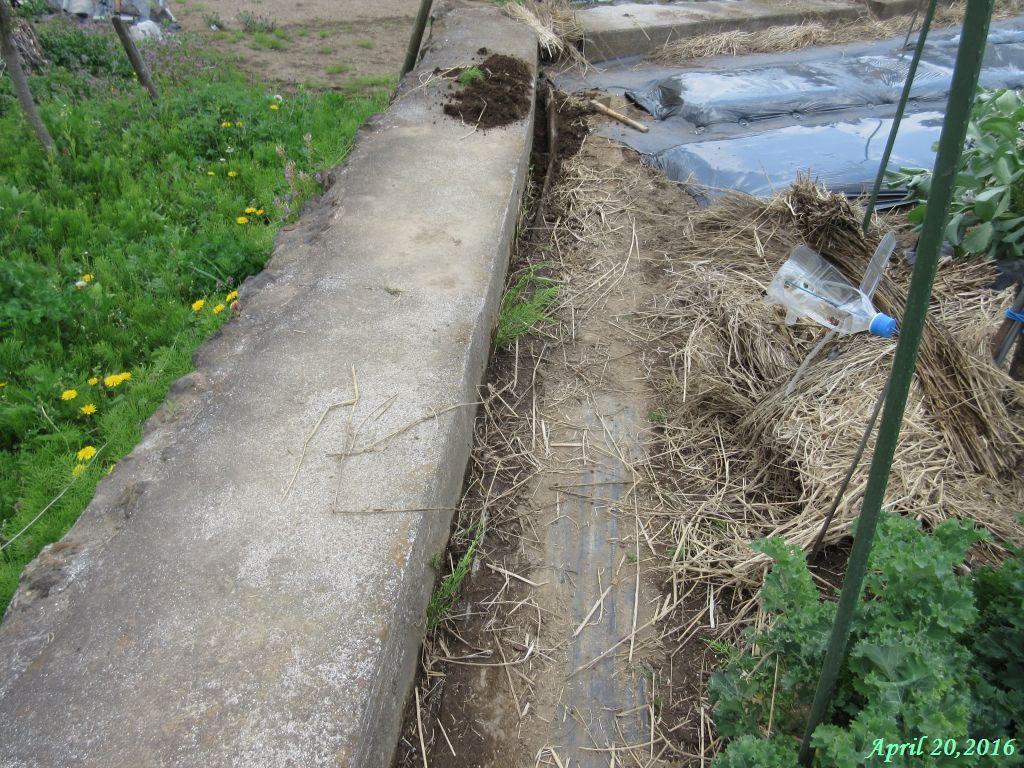 画像5(防草シートの隙間から伸びているスギナ)