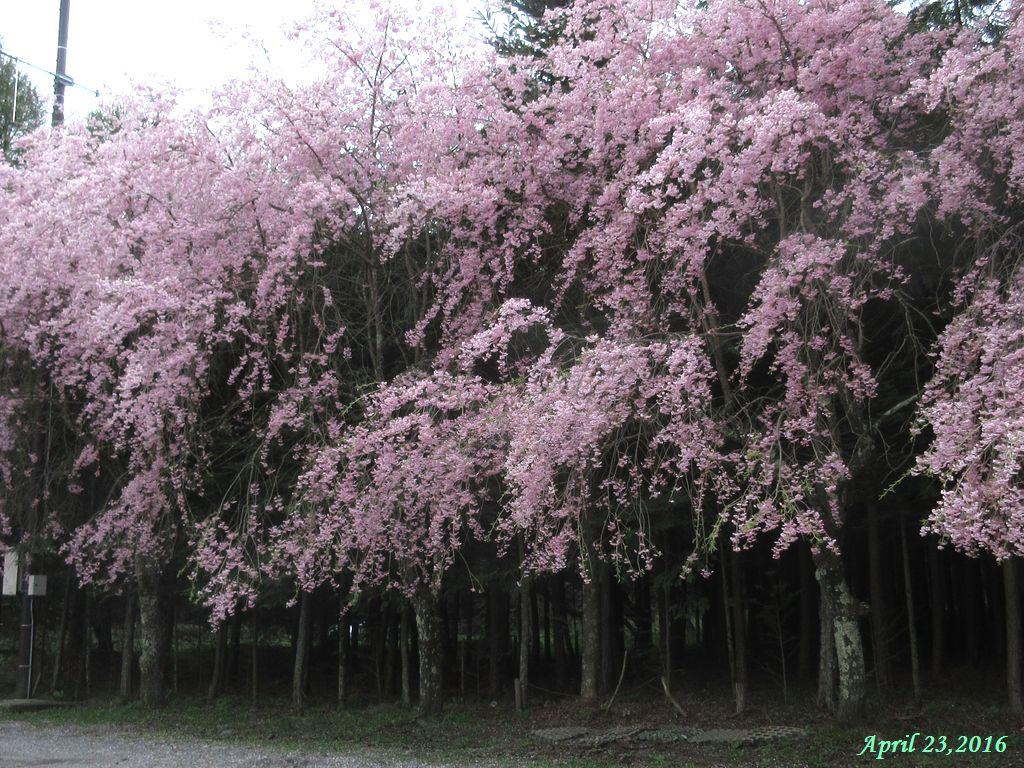 画像3(枝垂桜)