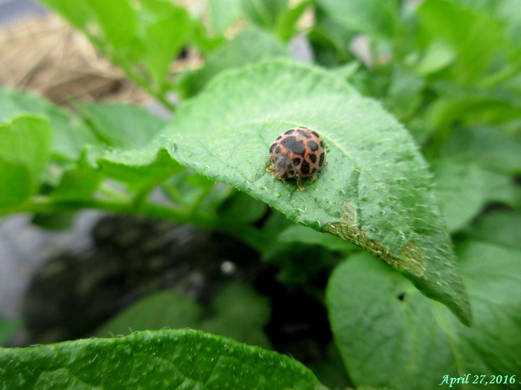 画像3(ジャガイモの葉のニジュウヤホシテントウ)ュラータ)
