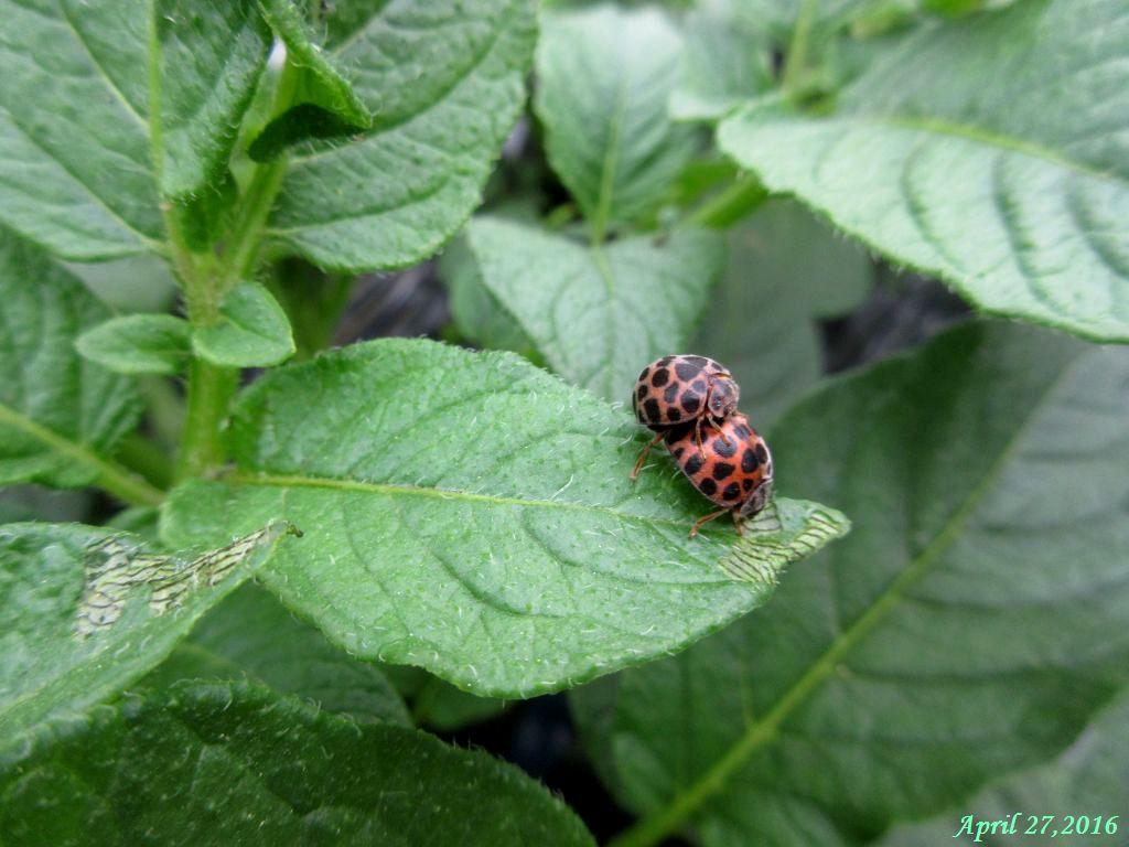 画像4(ジャガイモの葉のニジュウヤホシテントウ)ュラータ)