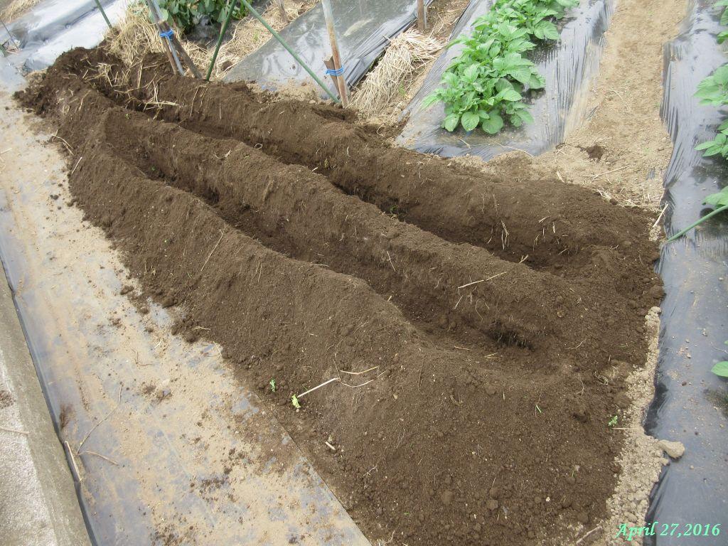 画像7(ネギ苗を植える溝)