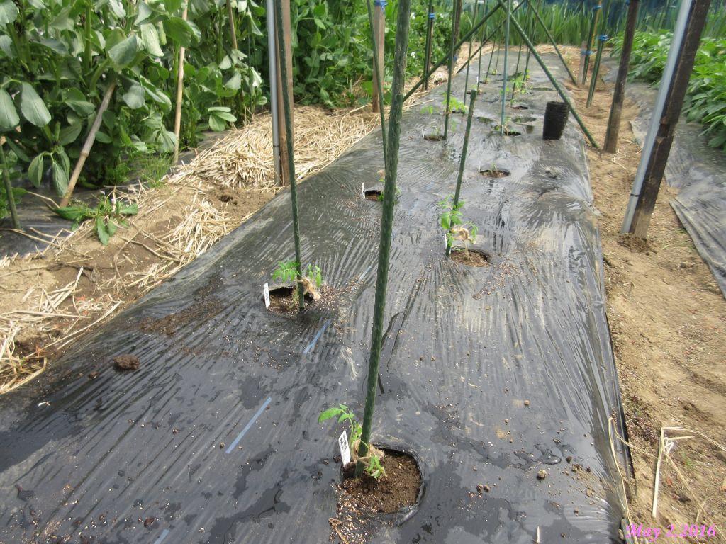 画像4(トマトの定植)