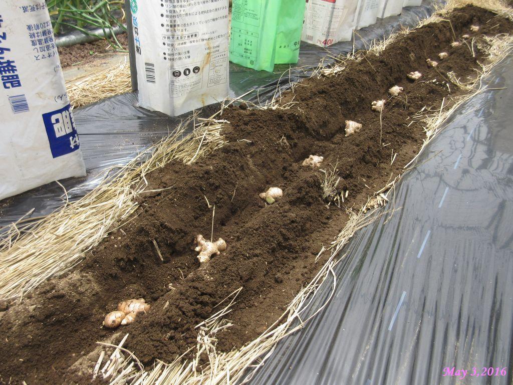画像4(種ショウガの植え付け)