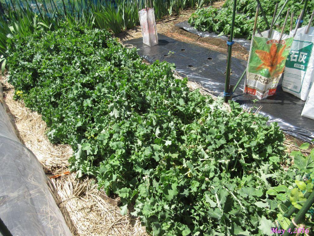 画像3(畑に残っている冬菜)