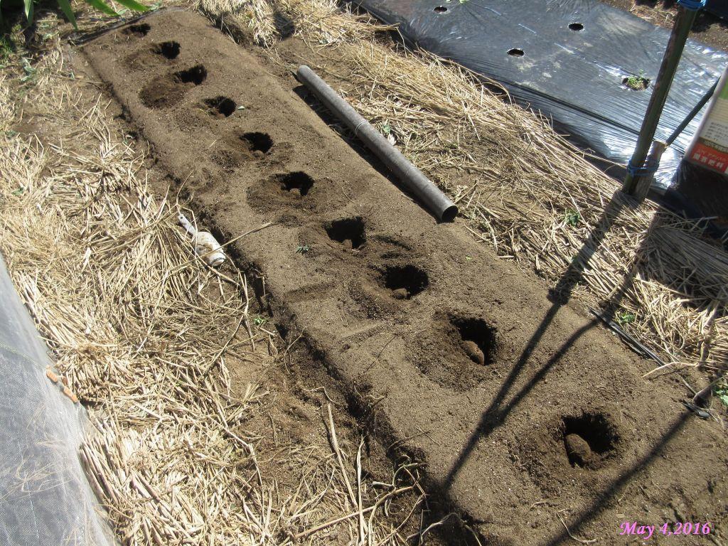 画像9(里芋の植え付け)