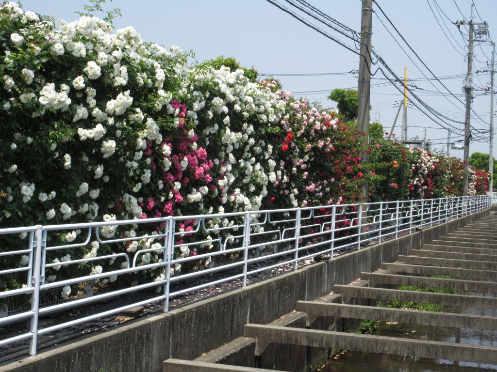 画像3(TDK甲府工場のバラ)