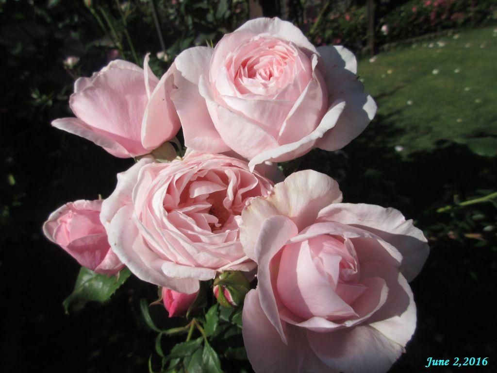 画像4(バラ 名前が分からないバラ)