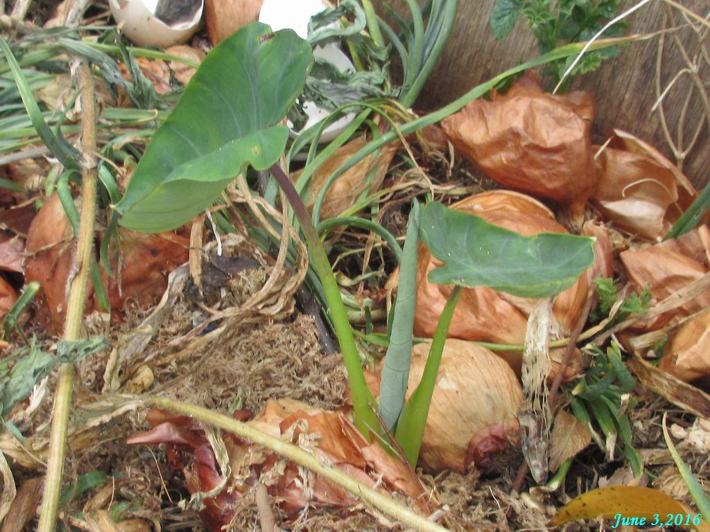 画像8(野菜くず置き場の里芋)