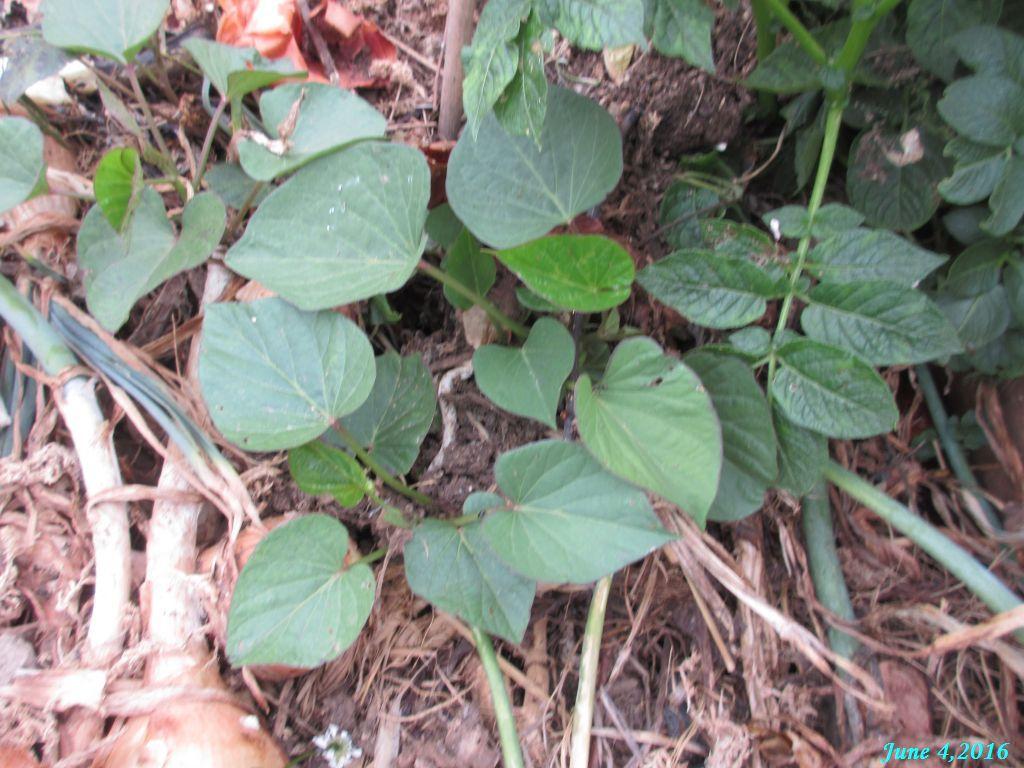 画像15(野菜くず置き場のサツマイモ)