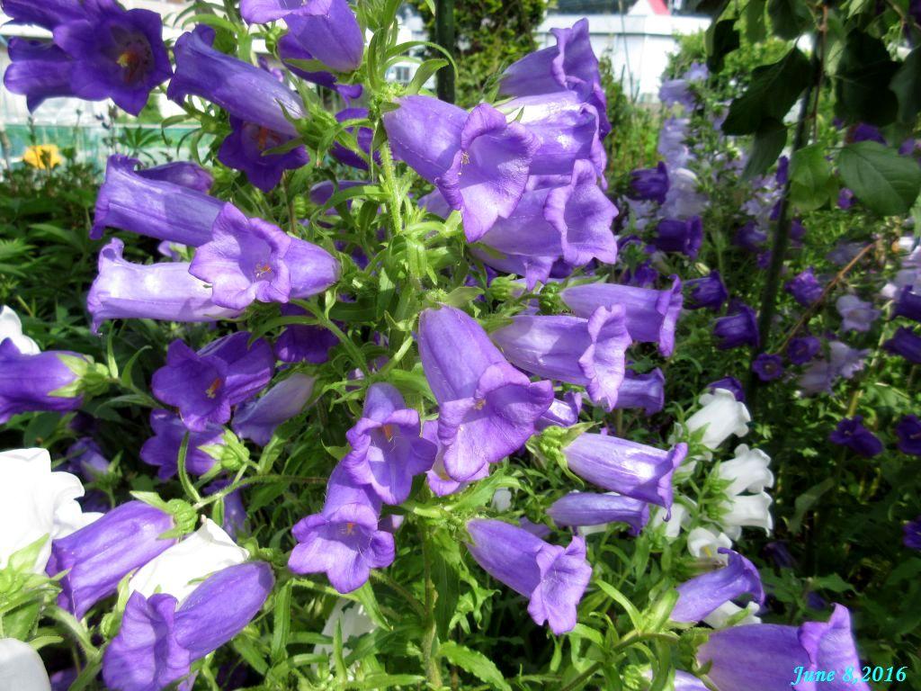 画像2(カンパニュラ 紫)