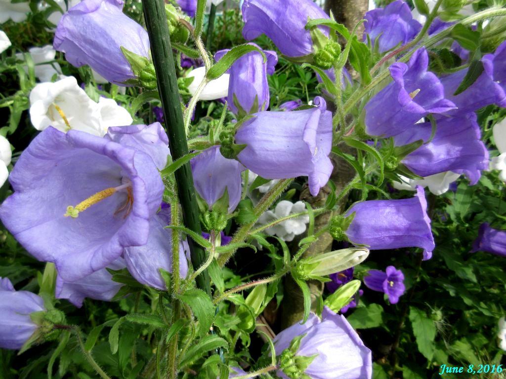 画像4(カンパニュラ 薄紫)