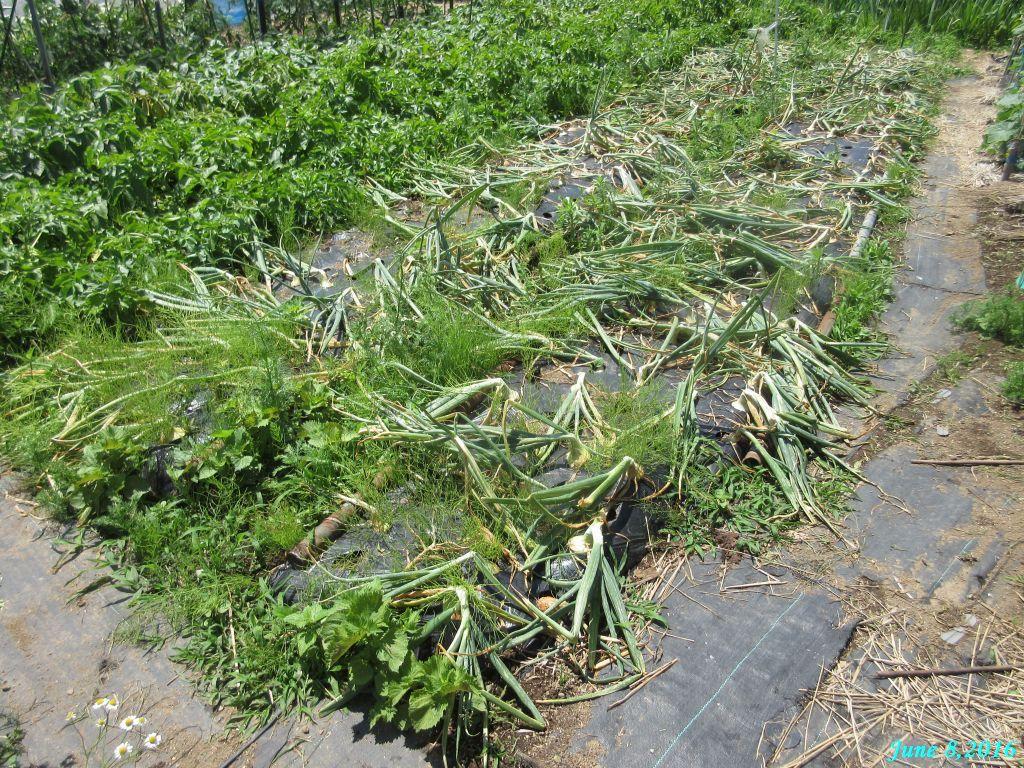 画像7(玉ねぎの畝 収穫前)