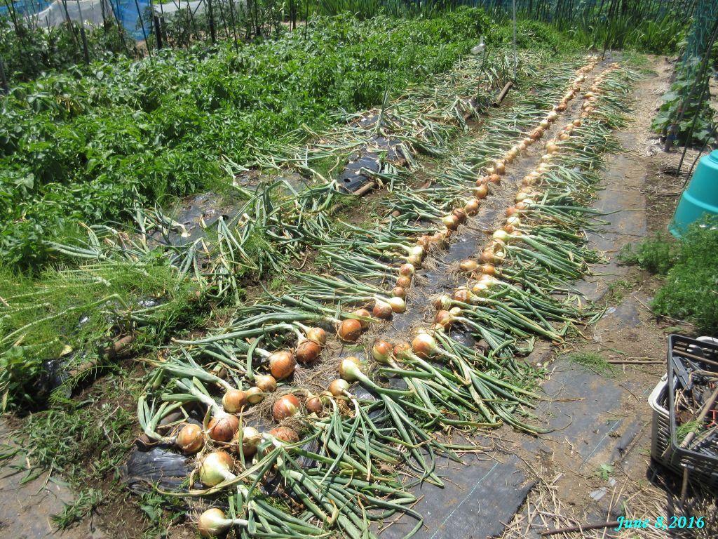 画像8(玉ねぎの畝 収穫後)