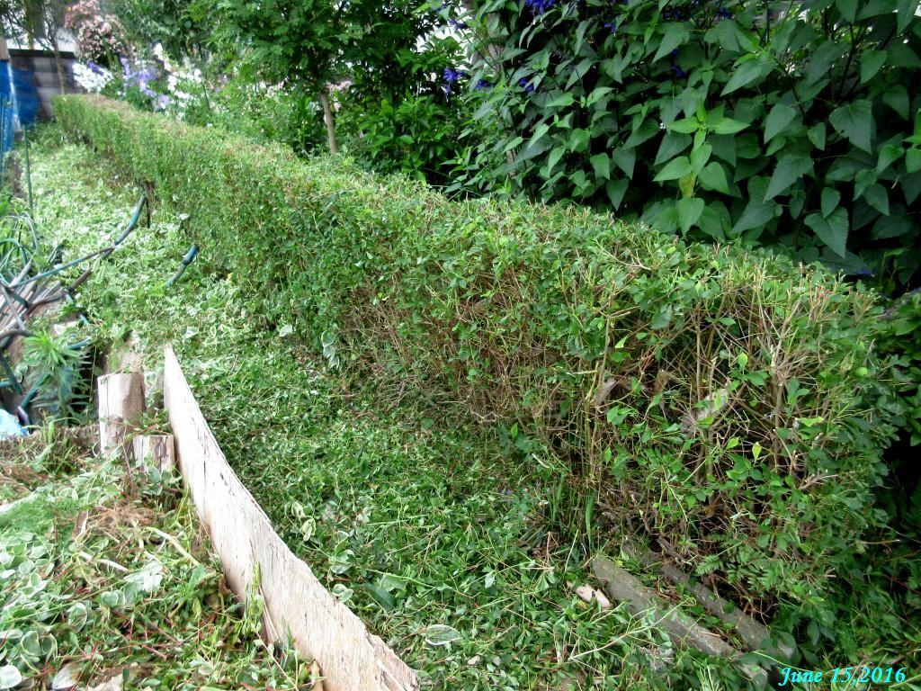 画像3(刈り込み後の垣根)