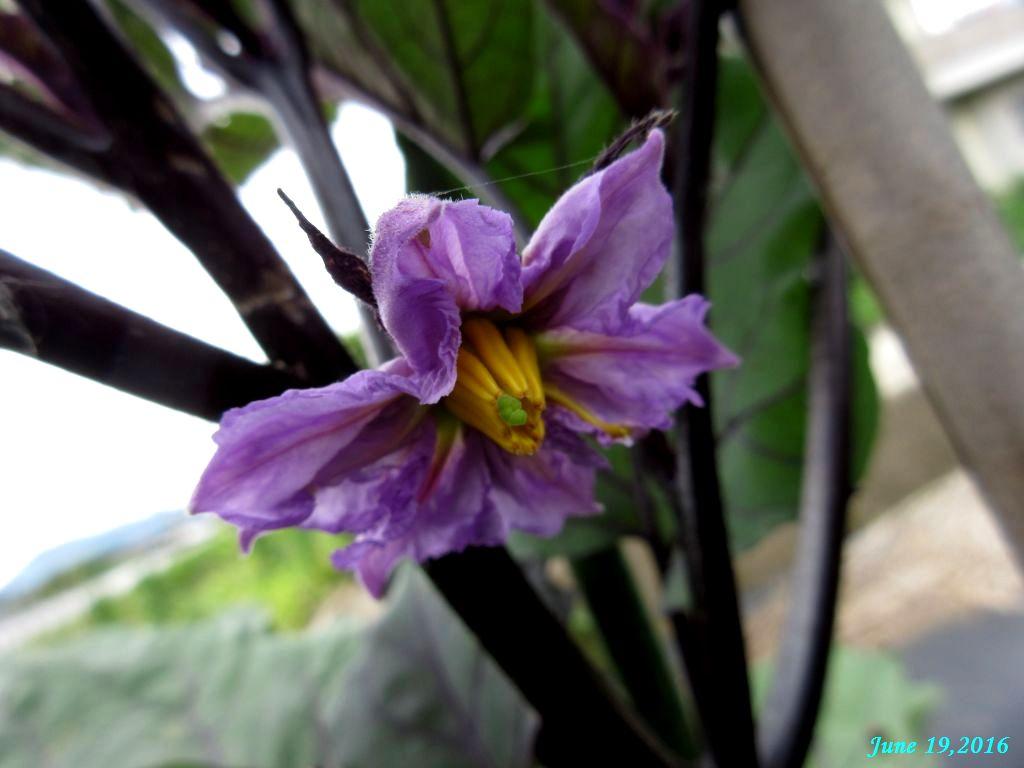 画像9(茄子の花)