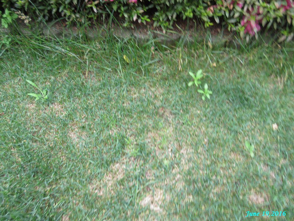 画像14(芝生の雑草)