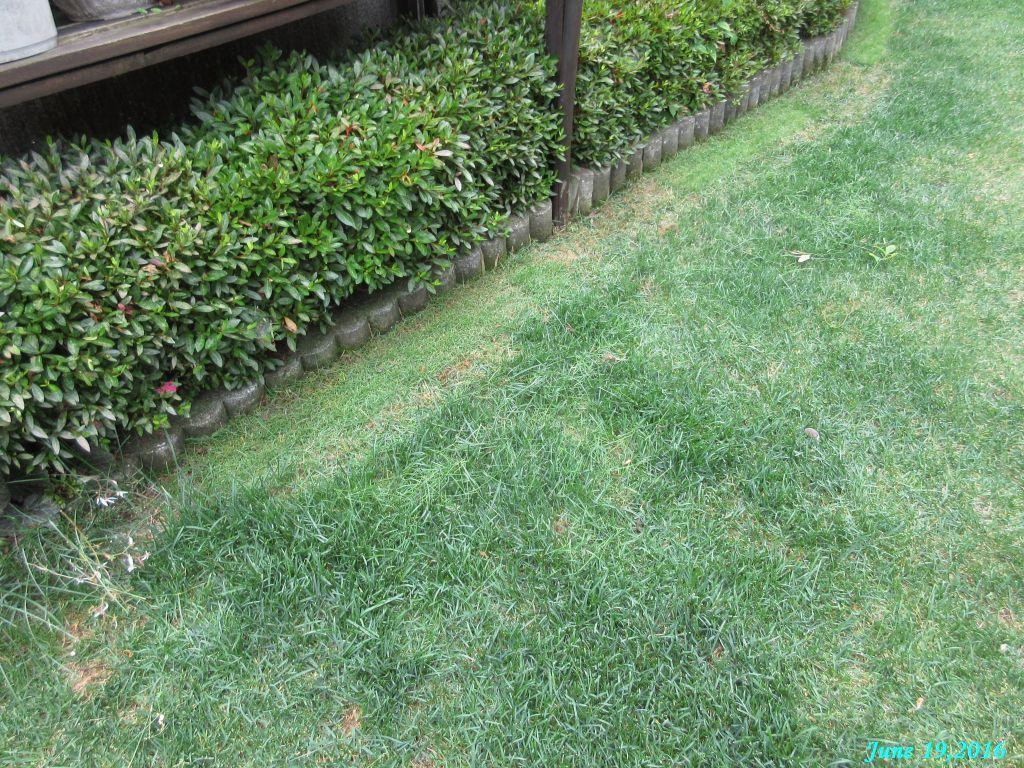 画像15(芝生の草取りと際刈り)