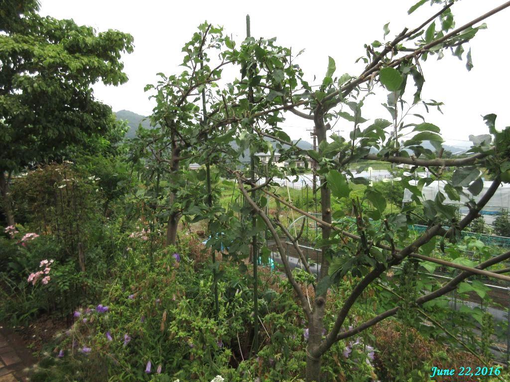 画像4(リンゴの木の剪定)
