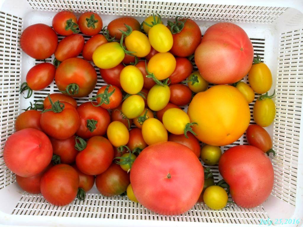 画像11(収穫したトマト)