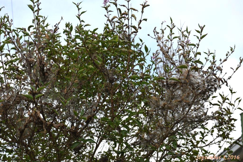 画像7(アメリカシロヒトリが付いたライラックの木)