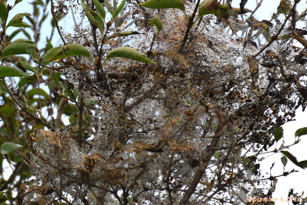 画像8(アメリカシロヒトリが付いたライラックの木)