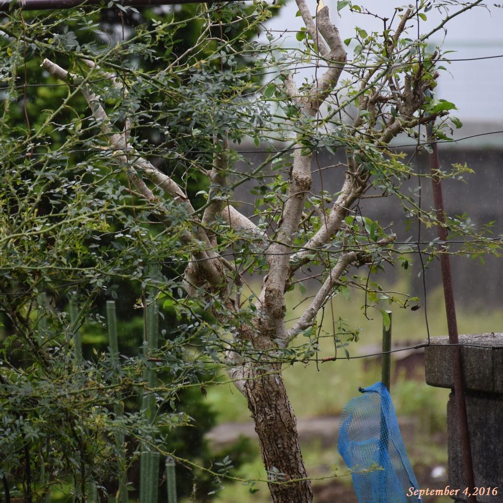 画像10(刈り込んだライラックの木)