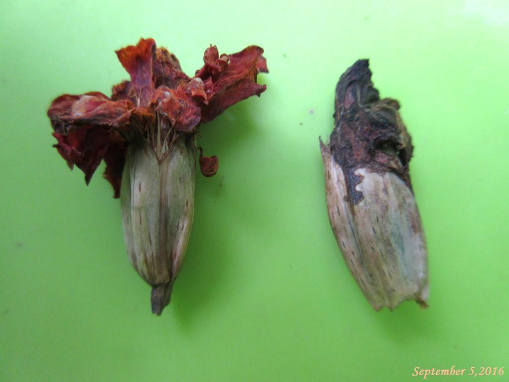 画像9(フレンチマリーゴールドの花殻2種)