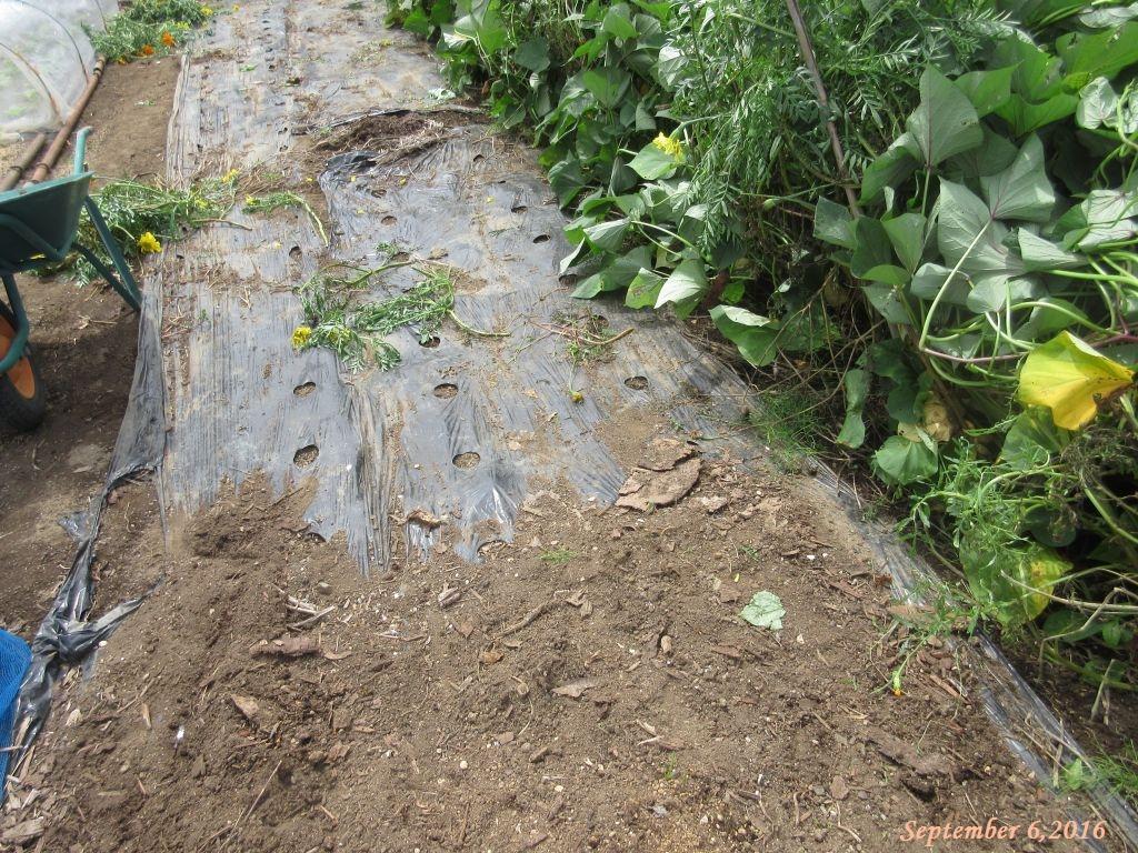 画像7(夏の間黒マルチを敷いていた畑)