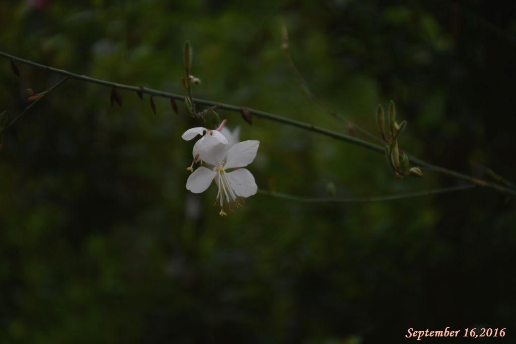画像2(ガウラ)