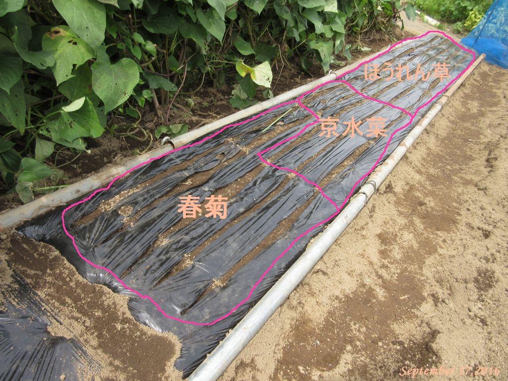 画像12(ほうれん草・京水菜・春菊の播種)