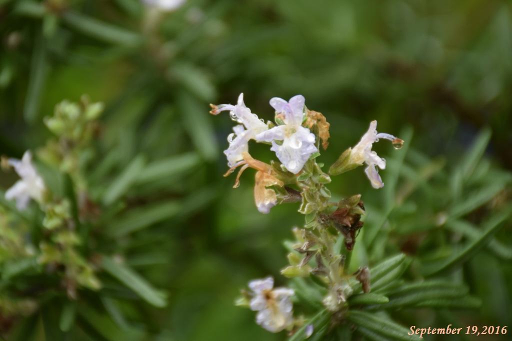 画像3(ローズマリーの花)