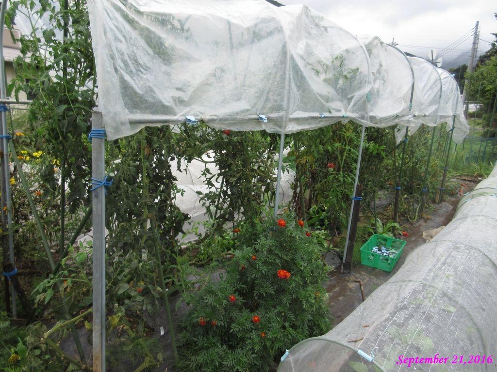 画像9(トマト棚の解体)