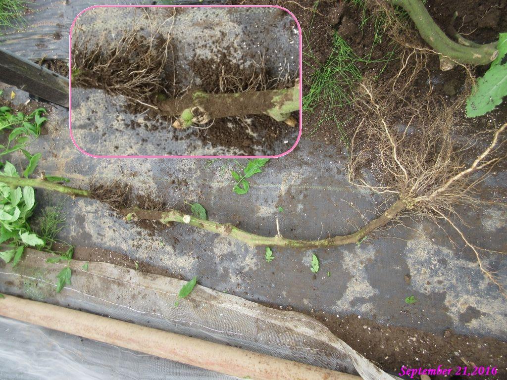 画像13(茎の途中から発根)
