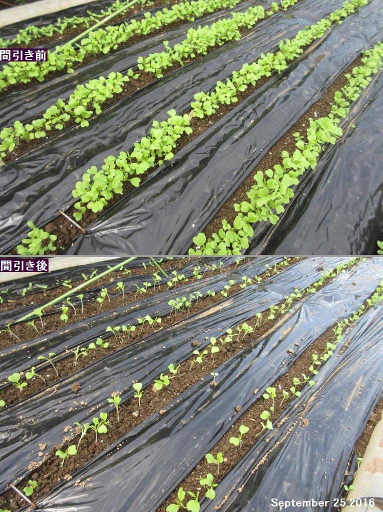 画像8(京水菜の間引き)