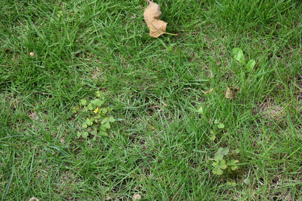 画像2(芝生の中の草)