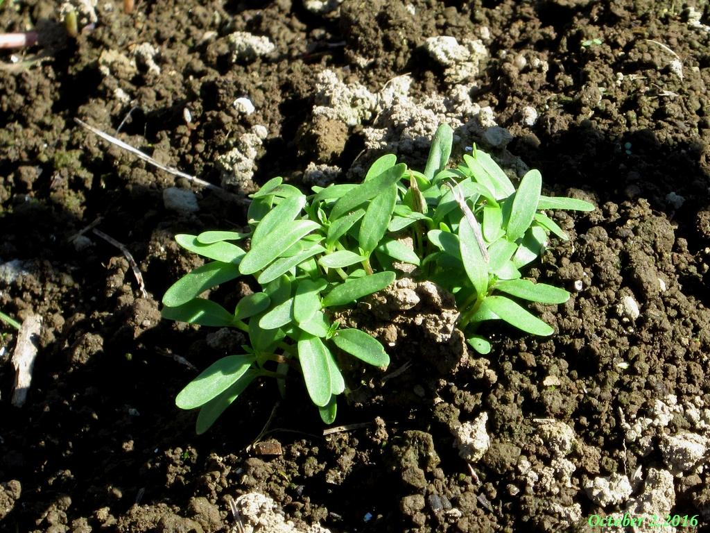 画像8(アフリカンマリーゴールドの花殻から発芽)