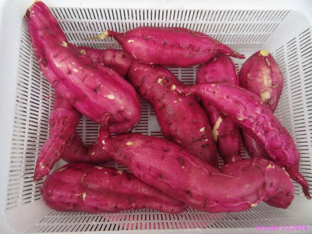画像4(収穫したサツマイモ)