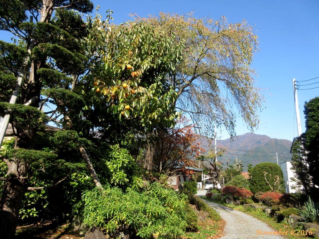 画像2(柿の木)