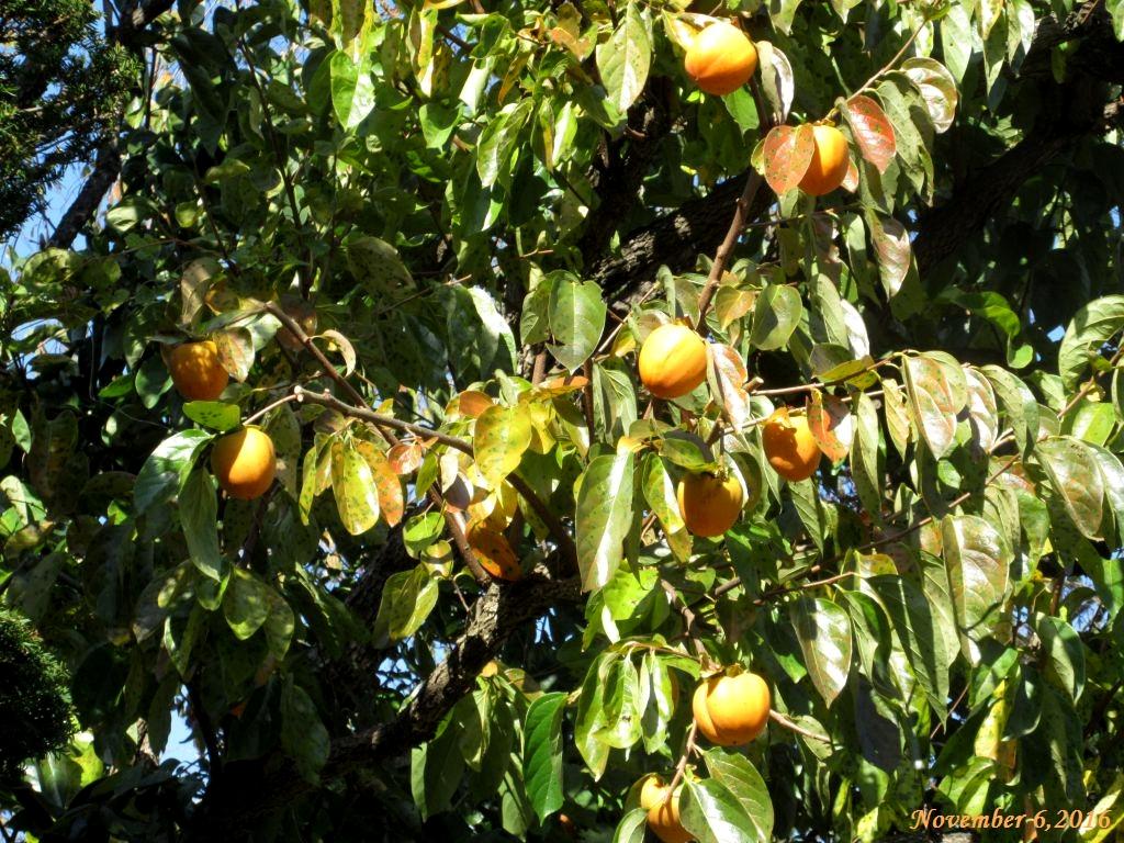 画像3(柿の木)