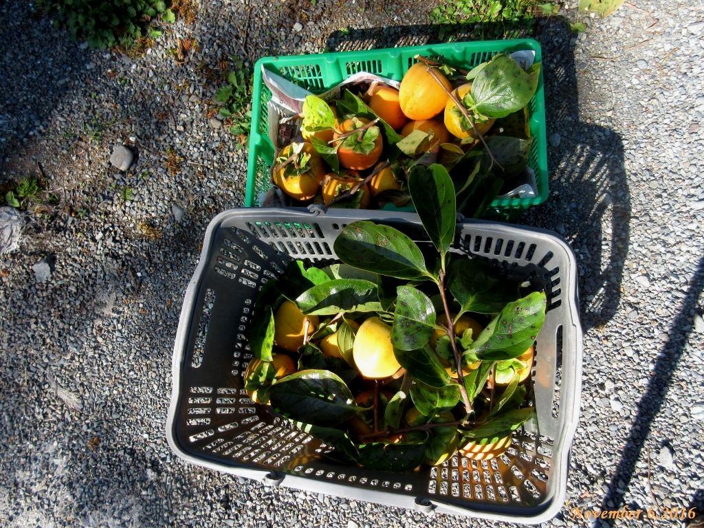 画像4(収穫した百匁柿)