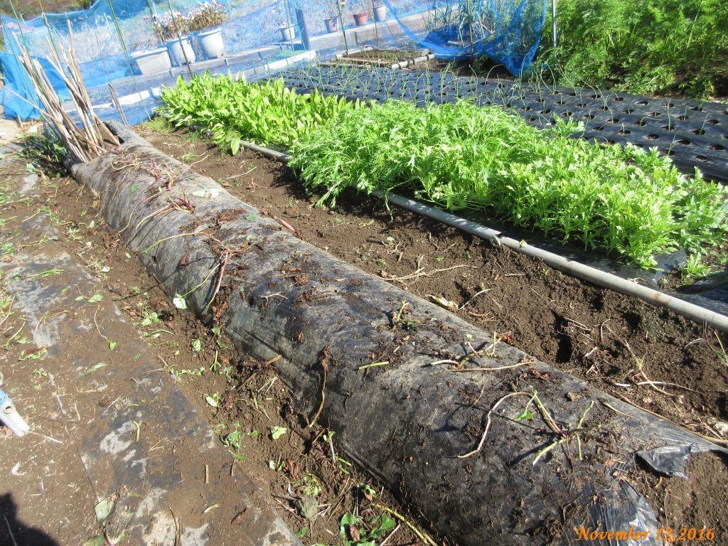 画像6(蔓を片付けたサツマイモの畝)