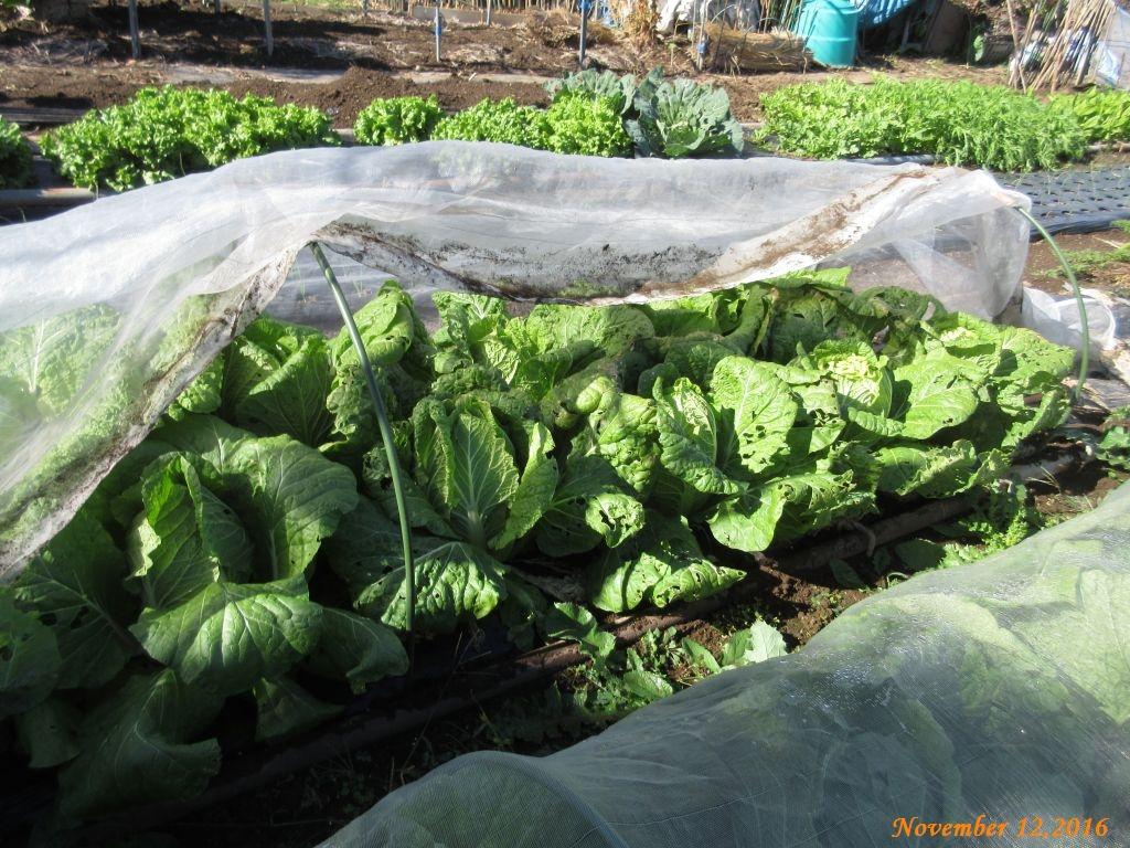 画像13(白菜の畝)