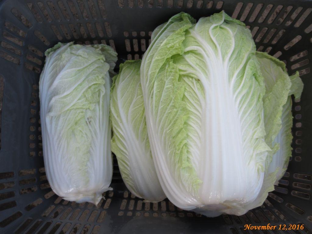 画像17(収穫野菜 白菜)