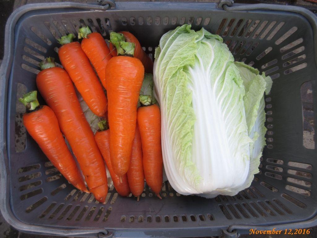 画像18(収穫野菜 ニンジン)
