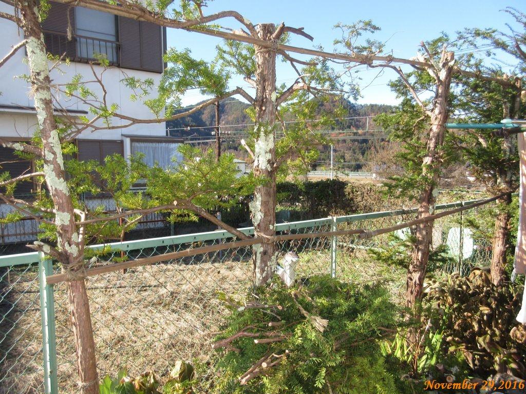 画像4(イチイの木の伐採)