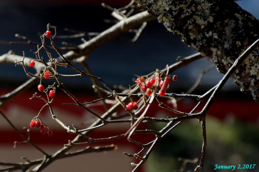 画像2(忠霊塔の赤い木の実)