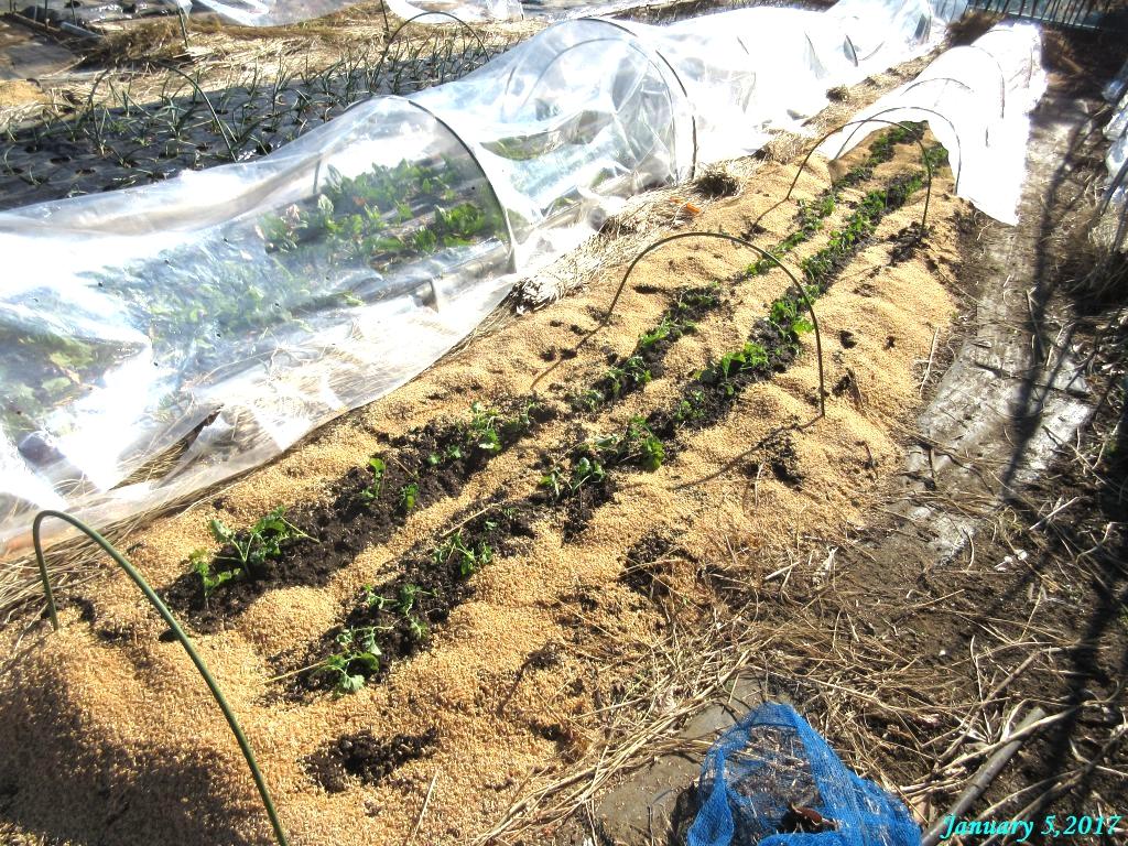 画像5(移植した冬菜)