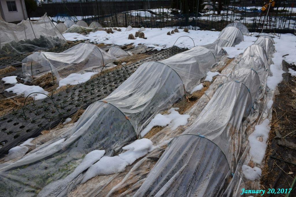 画像12(畑の残雪)